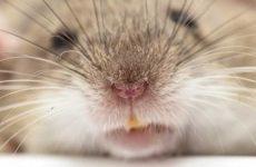 Трансгенные мыши обнаружат взрывчатку по запаху