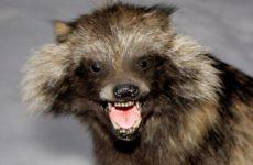 Коронавирус мог перейти на человека от енотовидных собак