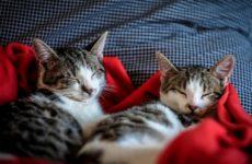 Гораздо больше кошек могут иметь COVID-19