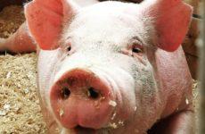 Свиной коронавирус может быть опасен для людей
