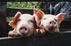 Мини-пиги помогли разобраться с проблемами сна у человека