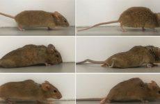 Учёные поставили на ноги парализованную мышь