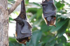 ВОЗ обвиняет летучих мышей в распространении коронавируса