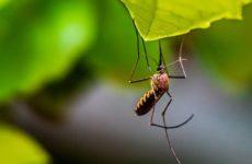 Эксперименты с комарами помогут бороться с опасными вирусами