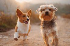 Собаки заразят людей новой версией коронавируса